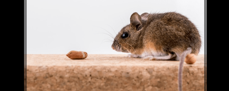 Rodent Control Penrith